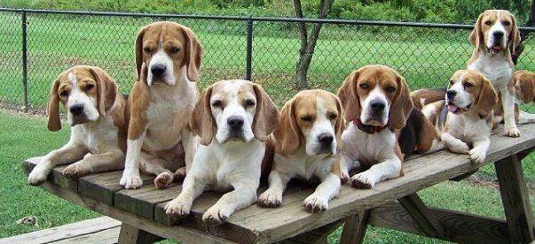 the national beagle club of america inc home